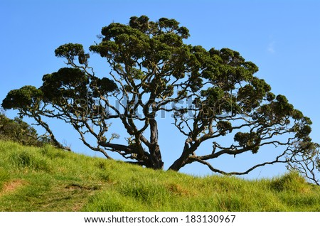 Pohutukawa tree (Metrosideros excelsa), a coastal evergreen tree endemic to New Zealand. - stock photo