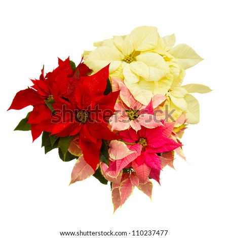 Poinsettia flower (christmas star) isolated on a white background - stock photo