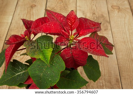Poinsettia is a traditional Christmas Flower. It is known as Bethlehem Star in some countries. Flower in a pot standing on the countertop with wooden planks. Close,horizontal view from the top. - stock photo