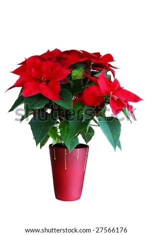 Poinsettia isolated on white - stock photo