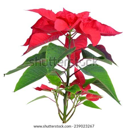 Poinsettia plant for Christmas isolated on white background - stock photo