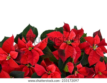Poinsettia plant, isolated on a white background, fills the bottom half of the frame used for Christmas displays and themes.  Room for copy space.  - stock photo