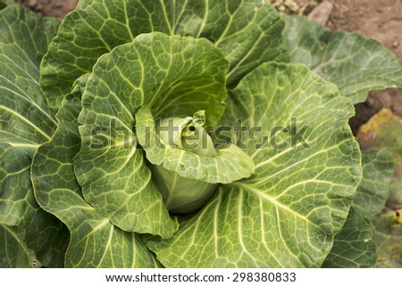 Pointed cabbage in a Danish kitchen garden - stock photo