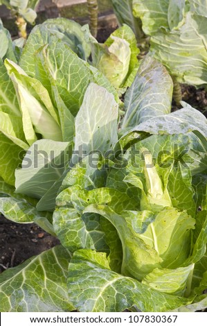 Pointed cabbage plants in a vegetable garden patch - stock photo