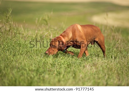 Pointing dog tracking in field - stock photo