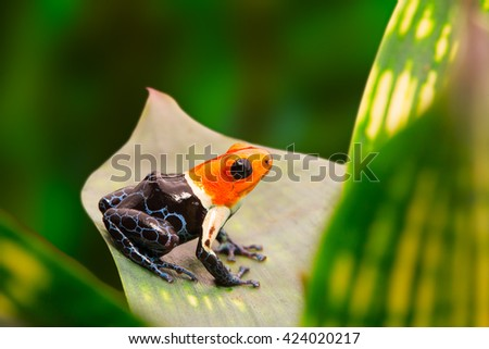 Poison dart frog, ranitomeya fantastica in the tropical Amazon rain forest of Peru. A macro of a small poisonous and toxic animal in the jungle. - stock photo