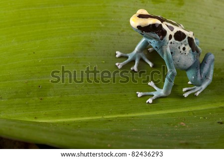 poison dart frog sitting on a leaf in rain forest Brazil. Beautiful exotic pet animal. copy space. Dendrobates tinctorius. - stock photo
