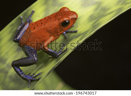 poison frog Costa Rica, Dendrobates or Oophaga pumilio a red and blue tropical amphibian from the rain forest kept in a vivarium or terrarium - stock photo