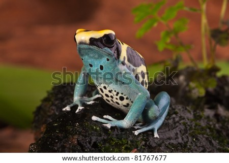 poison frog of amazon rainforest. Beautiful tropical jungle animal. This amphibian is an endangered species and needs nature conservation. bright blue yellow colors - stock photo