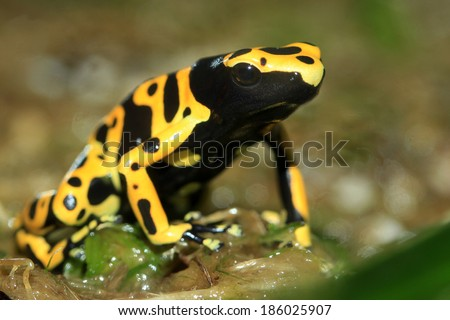 poison frog or dart frog with bright vivid colors - stock photo
