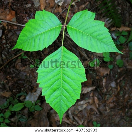 Poison Ivy Leaves Close- up (Taxicodendron radicans) - stock photo