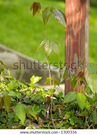 Poison ivy plants growing out of a patch of English ivy - stock photo