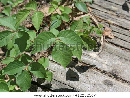Poison ivy (Toxicodendron radicans) growing onto a path.  - stock photo