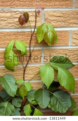 Poison Ivy vine growing up a brick wall. - stock photo
