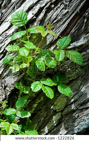 Poison Oak in bud, growing on a cedar tree - stock photo