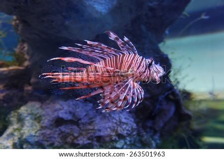 Poisonous fish Zebra - stock photo