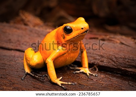 poisonous frog, poison dart frog Phyllobates terribilis a dangerous animal from the tropical rain forest of Colombia. Toxic amphibian with bright yellow and orange colors - stock photo