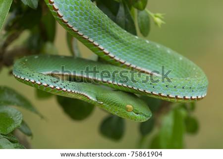 Poisonous Green Snake with yellow eyes Vogel's Pit Viper (Trimeresurus vogeli) - stock photo