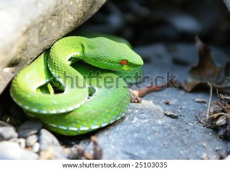 poisonous snake - stock photo