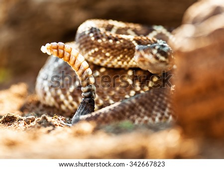 Poisonous South American rattlesnake (Crotalus durissus) with selective focus on tail - stock photo