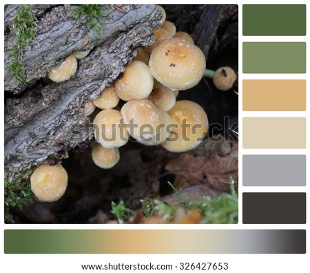 Poisonous Wild Mushrooms On A Tree. Sulphur Tuft. Hypholoma Fasciculare. Palette With Complimentary Colour Swatches. - stock photo