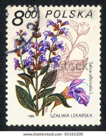 POLAND - CIRCA 1980: A stamp printed in POLAND shows image of a Salvia officinalis, herb series, circa 1980 - stock photo