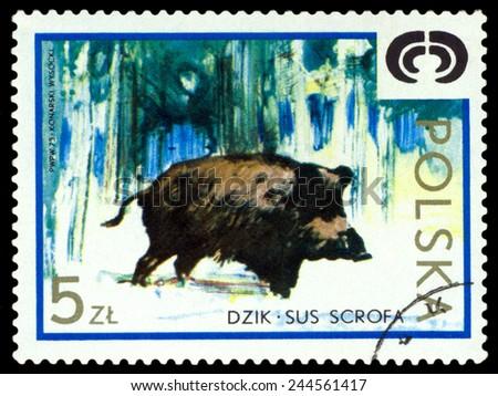 POLAND - CIRCA 1973: A Stamp printed in Poland shows image  Wild boar,  series, circa 1973  - stock photo