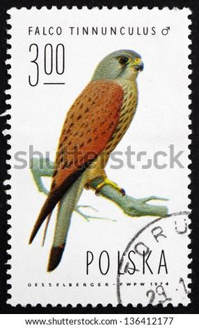POLAND - CIRCA 1975: a stamp printed in the Poland shows Common Kestrel, Falcon, Falco Tinnunculus, Bird of Prey, Male, circa 1975 - stock photo