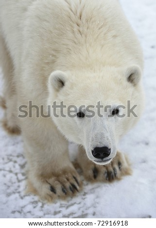 Polar bear. A portrait close up at a short distance. - stock photo