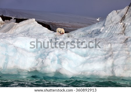 Polar bear and ivory gull on iceberg with the prey - stock photo