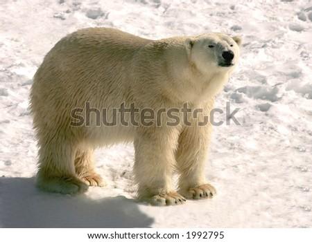 polar bear at cochrane ontario - stock photo