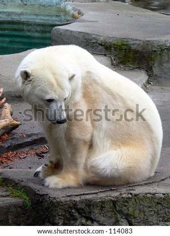 Polar bear at rest. - stock photo