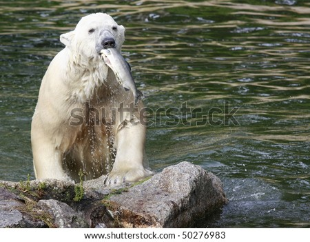 Polar Bear climbing out of water with fish in his mouth - stock photo