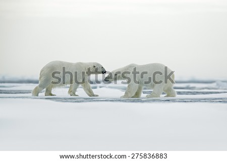 Polar bear couple cuddling on drift ice in Arctic Svalbard - stock photo