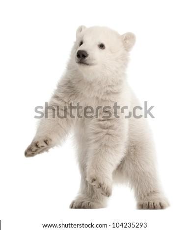 Polar bear cub, Ursus maritimus, 3 months old, standing against white background - stock photo