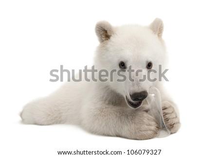 Polar bear cub, Ursus maritimus, 6 months old, with chew toy portrait against white background portrait against white background - stock photo