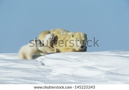 Polar Bear cubs with mother in snow Yukon - stock photo