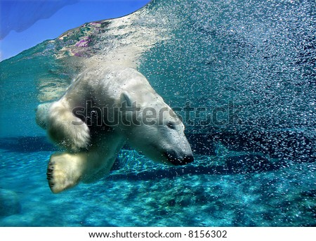 Polar bear diving - stock photo
