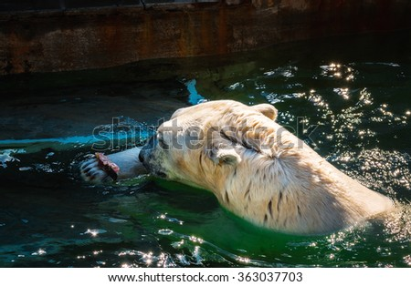 Polar bear eating red fresh fish in the zoo - stock photo