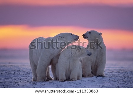 Polar bear family in Canadian Arctic sunset. - stock photo