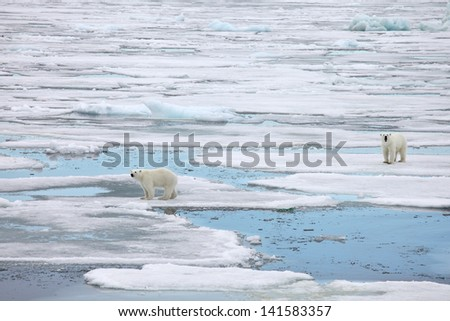 Polar bear family in natural environment  - stock photo
