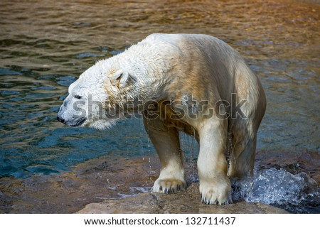 Polar bear getting out of the water - stock photo