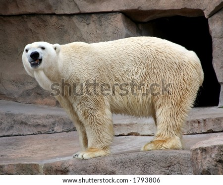 Polar bear growling - stock photo