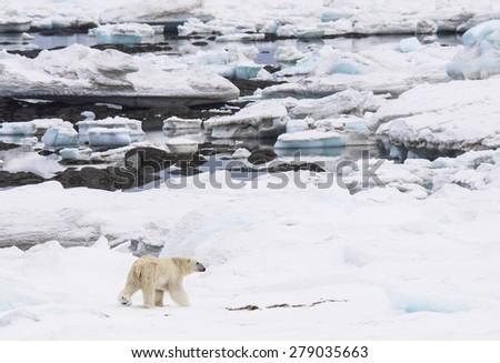 Polar bear in natural Arctic environment - stock photo