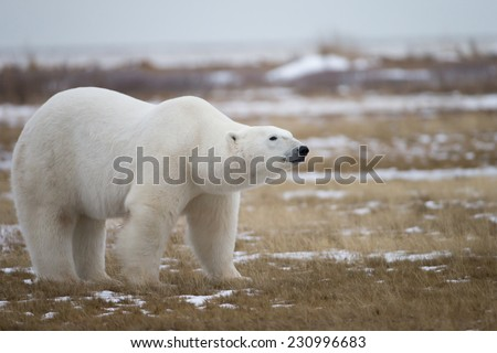 Polar Bear in Sub Arctic near York Factory Manitoba - stock photo