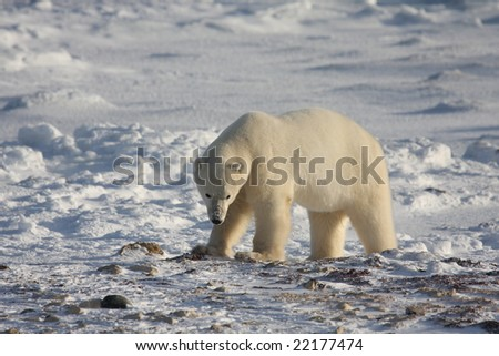 Polar bear in the arctic searching for something to eat - stock photo