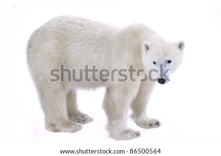 Polar Bear isolated on the white background. - stock photo
