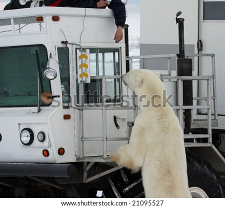 Polar bear looking into a truck with a person's hand hanging down - stock photo