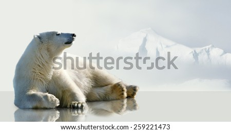 Polar bear lying on the ice in the environment of the iceberg. - stock photo