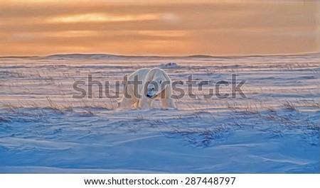Polar bear on Canadian Arctic tundra at sunset,photo art - stock photo